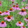 "Echinacea: Is it Useful for the Prevention of Upper Respiratory Infections?  An excerpt from my book ""A Doctor's Guide to Alternative Medicine: What Works, What Doesn't, and Why – Foreword by Dr. Bernie Siegel"