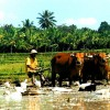 bali-article-plowing-the-rice-fields