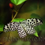 """THE LAST BUTTERFLY"" Bali Indonesia"