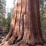 """THE TREE"" Yosemite USA"